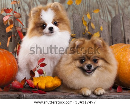 Two German (Pomeranian) Spitz dogs - stock photo