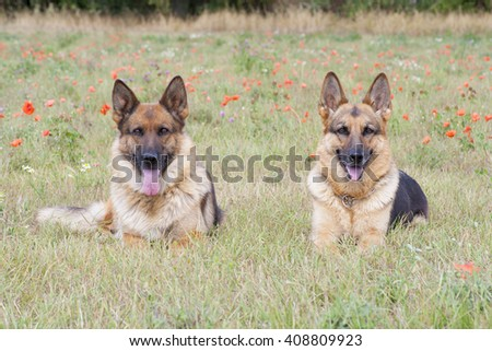 two German sheepdogs on the grass - stock photo