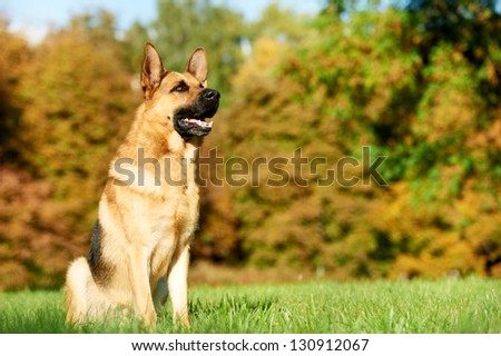 two German Shepherd Dogs sitting on green grass at autumn background - stock photo