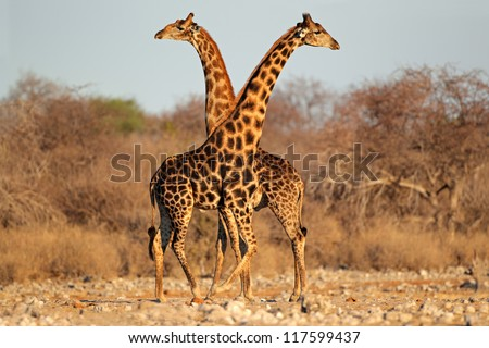 Two giraffe bulls (Giraffa camelopardalis), Etosha National Park, Namibia, southern Africa - stock photo