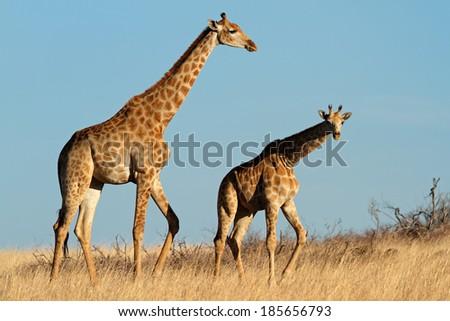 Two giraffe (Giraffa camelopardalis) in open grassland, South Africa - stock photo