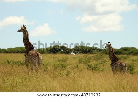 Two Giraffe walking, beautiful background - stock photo