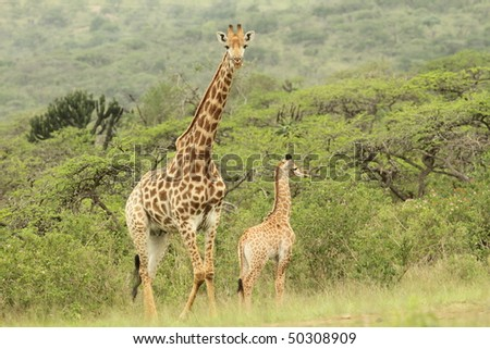 Two Giraffe, young and adult - stock photo