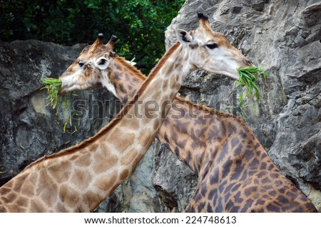 Two giraffes eating - stock photo