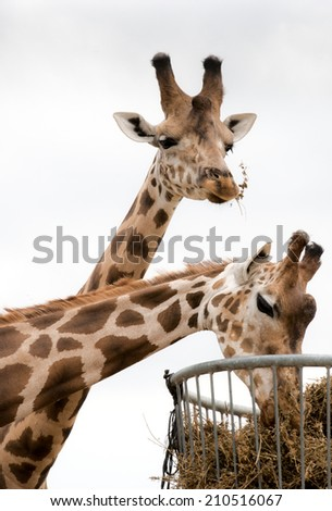 two giraffes eating. living in safari park - stock photo