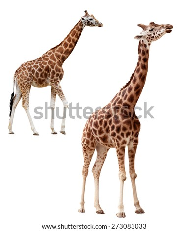 Two giraffes in different positions isolated on white (clipping path included) - stock photo