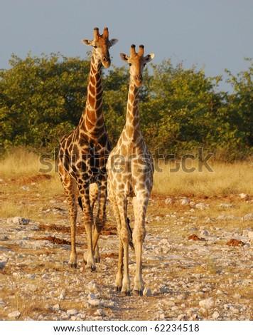 Two Giraffes in Etosha - stock photo