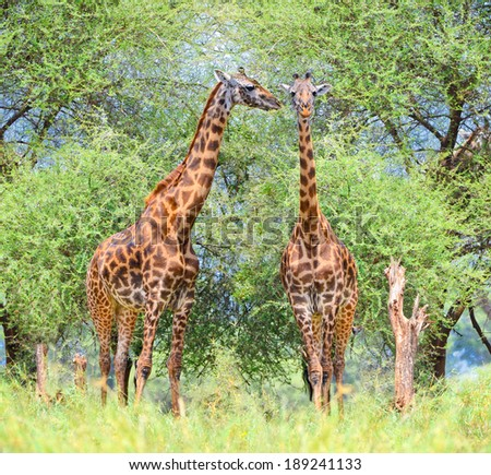 Two Giraffes in National Park, Tanzania. Africa.  - stock photo