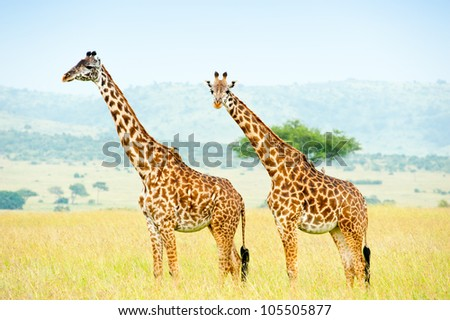 Two giraffes, Kenya, Africa - stock photo