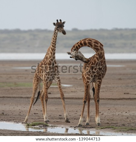 Two giraffes, one of them with neck bent - stock photo