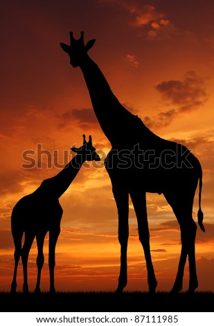 Two giraffes over sunrise - stock photo