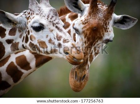 Two Giraffes Showing Love - stock photo