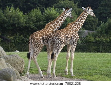 Two giraffes standing on green grass in a zoo - stock photo