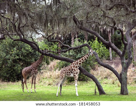 Two giraffes walking in animal kingdom park - stock photo