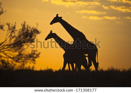Two Giraffes walking, silhouetted against a sunrise sky in the Kalahari desert, Kgalagadi transfrontier park, South Africa. - stock photo
