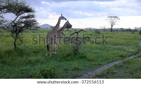 Two giraffes while safari in the Serengeti national park, Tanzania, Africa. Flat trees, road, bushes and green grass. - stock photo