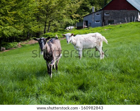 Two goat - stock photo