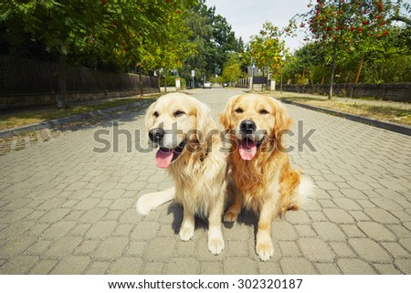 Two golden retriever dogs on the old road. - stock photo