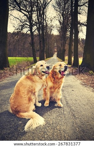 Two golden retrievers on the old road - stock photo