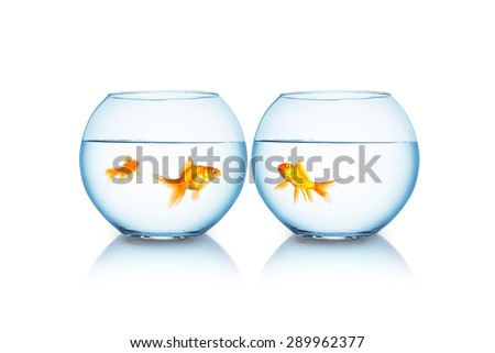 Two goldfishes are separated from each other - stock photo