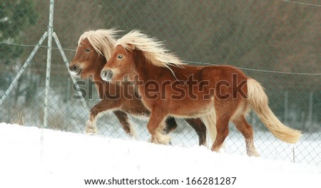 Two gorgeous ponnies with long mane running together in winter - stock photo