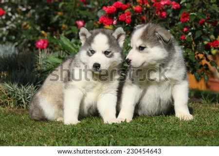 Two gorgeous puppies of siberian husky sitting in front of red roses - stock photo