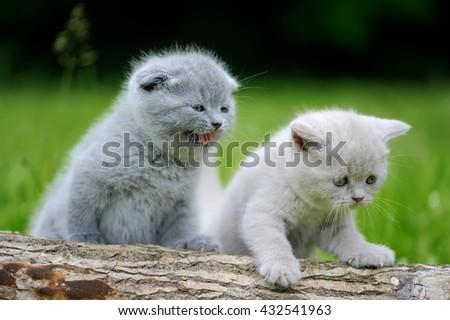 Two gray kitten on nature. Cute baby kitten on tree  - stock photo