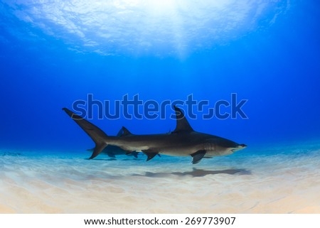 Two great hammerhead shark swimming over the sand in shallow clear water, Bimini, Bahamas - stock photo