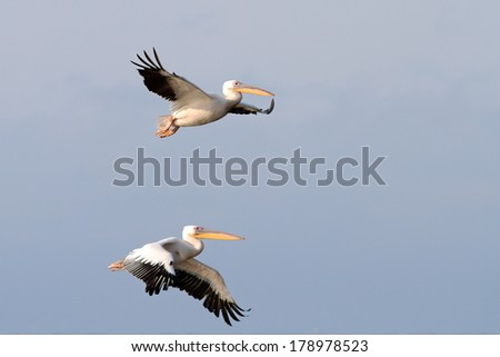 two great pelicans ( pelecanus onocrotalus )  flying together - stock photo