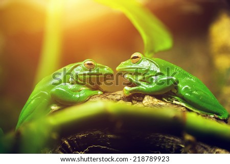Two green frogs sitting on leaf looking on each other like a couple about to kiss.  - stock photo