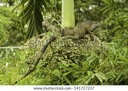 Two green iguanas climbing in a tree in Costa Rica. - stock photo