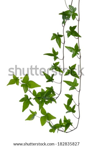 Two Green ivy (Hedera) stems isolated on white background. Creeper Ivy stem with young green leaves. - stock photo