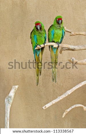 Two green parrot sitting on a branch - Bali, Indonesia - stock photo