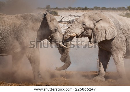 two grey elephants standing close together touching themselves tenderly with their trunks - stock photo