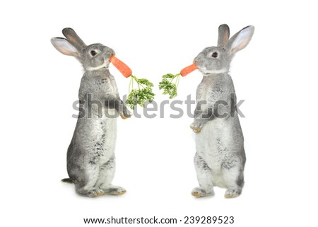 two  grey rabbit and carrots  on a white background - stock photo