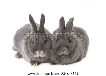 Two grey rabbits, sitting close together. Isolated on white. - stock photo