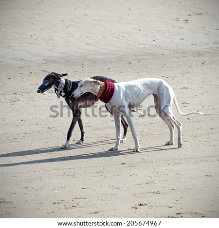 Two greyhound dogs on the beach - stock photo