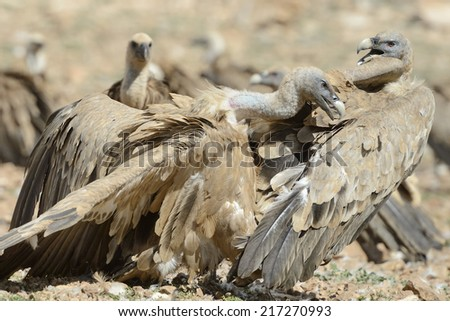 Two griffon vultures fighting. - stock photo
