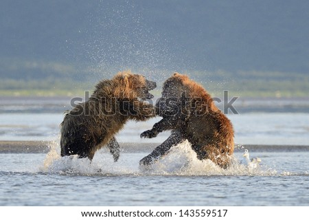Two Grizzly Bears fighting in water - stock photo