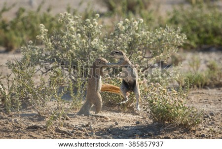 Two ground squirrels fighting in Etosha National Park in Namibia - stock photo