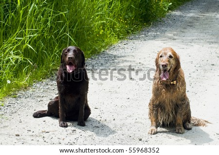 Two happy dogs, a Golden and Labrador Retriever, sitting together on a dirt road outside on a sunny day. - stock photo