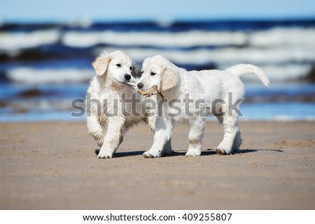 two happy golden retriever puppies on the beach - stock photo