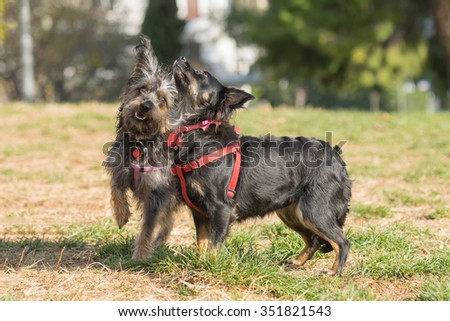 Two happy mini dogs playing at a park.  - stock photo