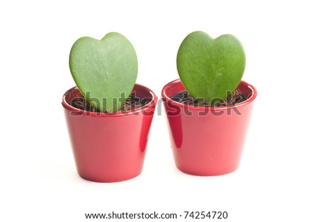 Two heart shaped needleless cactuses in red pot isolated over white - stock photo