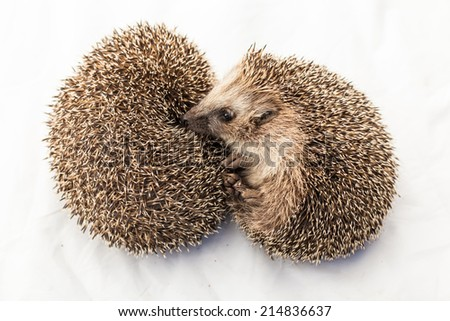 two Hedgehogs, Atelerix albiventris, 3 weeks old, in front of white background  - stock photo