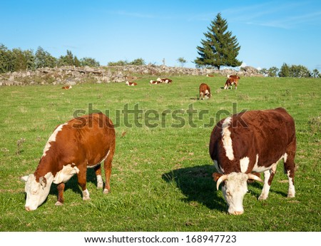 Two Hereford cows eating hay and grazing on the meadow. - stock photo