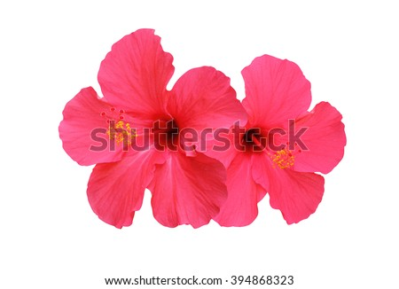 Two hibiscus flower isolated on white background  - stock photo