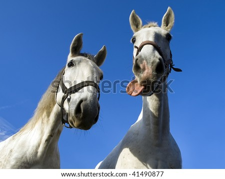two hilarious old-kladruby horses - stock photo