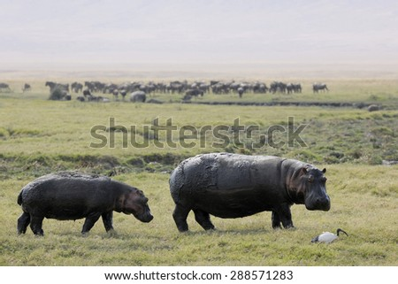 Two hippo's walking at the Ngorngoro crater looking at an ibis. - stock photo