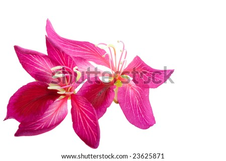 Two Hong Kong Orchid blossoms isolated on a white background - stock photo